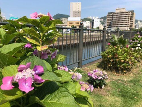 出島の紫陽花