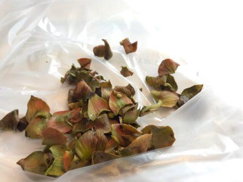 渋柿のヘタ